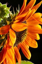 Decorative Sunflower Close Up. Bright Yellow Sunflowers. Sunflower Background.