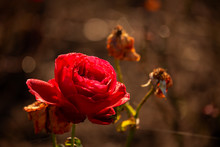 Red Rose Covered With Morning Dew And Illuminated By The Rays Of The Rising Sun. Flower Shining In The Sun On A Dark Background. Autumn Background For Your Design. Copy Space. Selective Focus, Blur