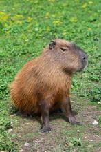 Capybara Animal In Natural Environment