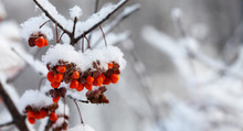 Orange Berries Snow Covered Branches, Winter Park Nature Macro View. Selective Focus. Copy Space