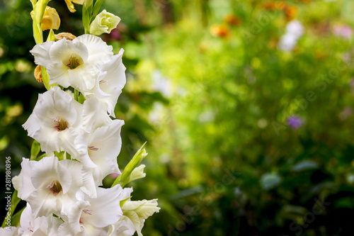 large varietal gladioli of white color are located on the side of the background Canvas Print