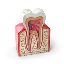 Dental Tooth Anatomy. Cross Se...