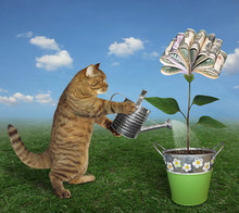 The Cat Gardener Waters A Money Tree In A Pot With An Iron Watering Can On The Meadow.