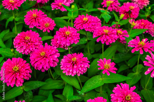 Poster Rose Beautiful abstract texture color red purple and pink flowers trees plants and forest landscape in the public nature green city parks and gardens