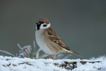 Eurasian Tree Sparrow Sitting On A Branch