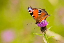 Close Up Of A Colourful Peacock Butterfly Perching On A Purple Thistle Head, Aglais Io, European Peacock