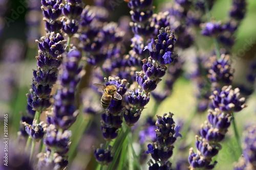 Bee on lavender flower - 281991865