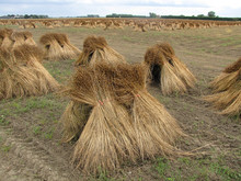 Bunches Of Dry Flax Plants At The Fields In The Dutch Countryside In Summer