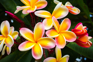 Obraz na Szkle Do Spa Beautiful Tropical Flowers in Hawaii