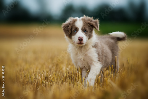 Canvas Print Border collie puppy in a stubblefield