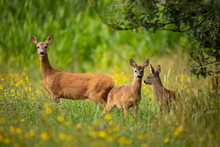 Row Deer Family On Meadow With...