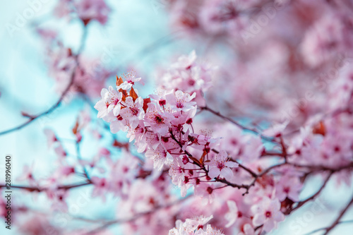 Colorful blooming cherry tree branch. Cherry orchard Fototapete