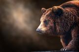 Brown niedźwiedzia zakończenie w górę portreta na ciemnym tle - 282004289