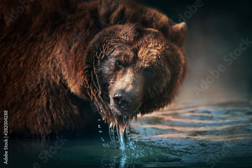 Brown bear close up portrait drinking water - 282004288