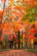Autumn Leaves In Heirinji Temp...