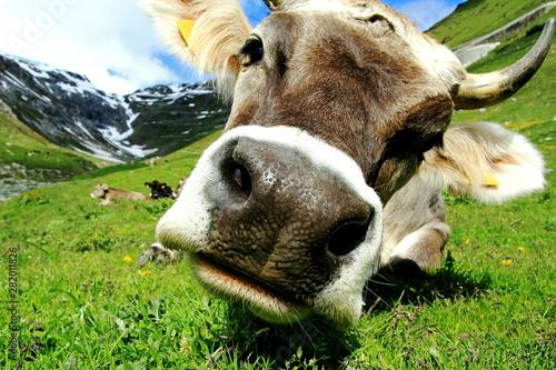 Foto  Ein hübsches junges Braunvieh mit Hörnern im Gebirge