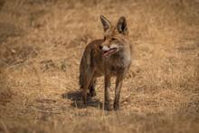 Fox Vulpes Vulpes Fox Spain