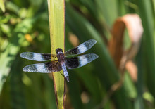 Widow Skimmer Dragon Fly