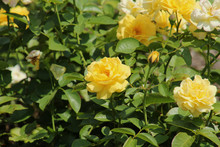 Cluster Of Yellow Roses
