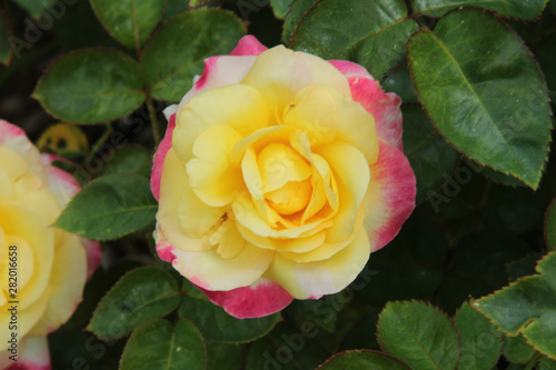 Close Up Yellow Rose with Pink Outer Petals