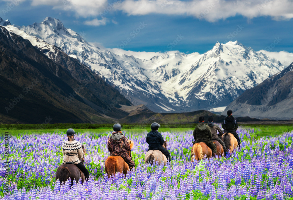 Fototapety, obrazy: Travelers ride horses in lupine flower field, overlooking the beautiful landscape of Mt Cook National Park in New Zealand. Lupins hit full bloom in December to January which is summer of New Zealand.