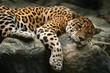 canvas print picture - jaguar resting on the rock