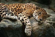 Jaguar Resting On The Rock