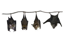 Bat Hanging Upside Down Isolat...