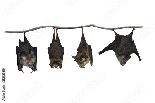 Fotografía  Bat hanging upside down isolated on white background