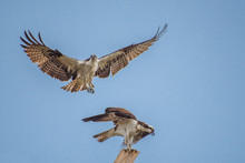 Two Young Ospreys Are Fighting...