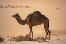 A One Hump Dromedary Camel (camelus Dromedarius) In The Sinai Desert, Egypt