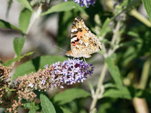 Painted Lady Or Vanessa Cardui Underside Drink Nectar From Flower