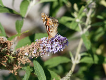Painted Lady Or Vanessa Cardui, Beautiful Orange-and-black Butterfly Drink Nectar From Flower
