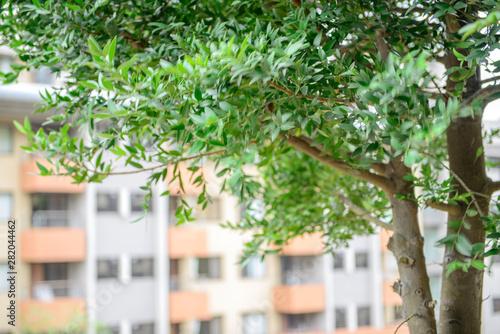 Obraz close up view of Nageia nagi  green leaves in park - fototapety do salonu