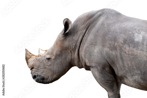 Spoed Foto op Canvas Neushoorn white rhino isolated on white background - clipping paths.
