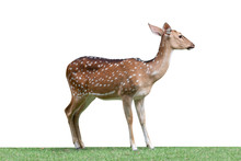 Cute Spotted Fallow Deer Isolated On A White Background - Clipping Paths.
