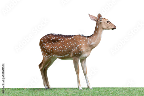 Foto op Plexiglas Ree Cute spotted fallow deer isolated on a white background - clipping paths.