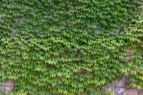 Papel de parede Green creeper on the old wall