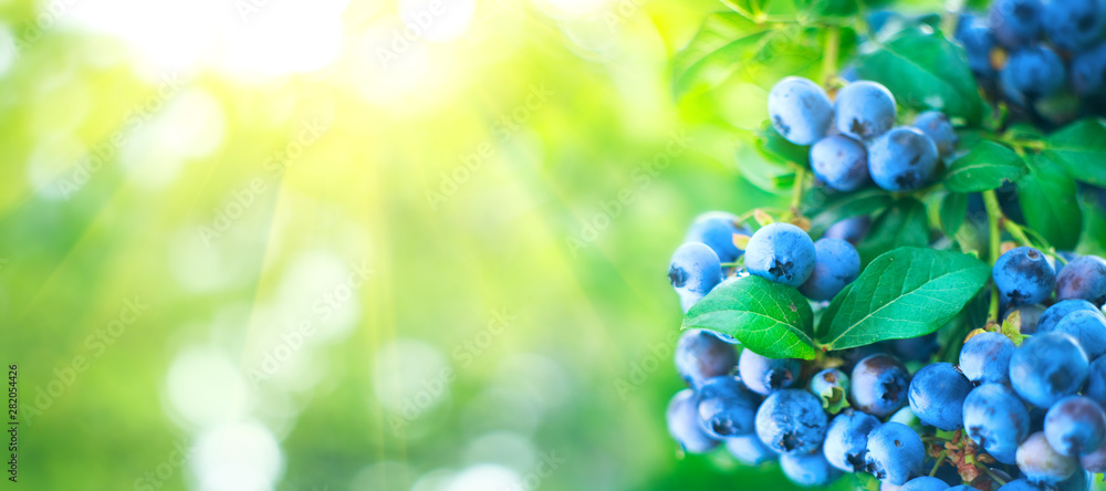 Fototapety, obrazy: Blueberry plant. Fresh and ripe organic Blueberries growing in a garden. Healthy food. Agriculture