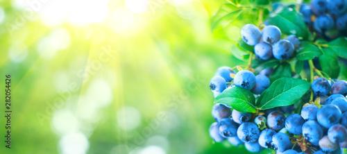 Cuadros en Lienzo Blueberry plant