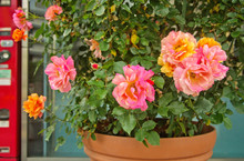 Beautiful Blooming Hybrid Tea Rose Has Double Blossoms With Two Tone Mixed Orange Pink Color Of Petal In Clay Pot That Is Woody Perennial Flowering Plant In Genus Rosa As Popular Ornamental Plant