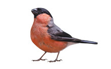 Male Of Eurasian Bullfinch (Pyrrhula Pyrrhula), Isolated On White Background