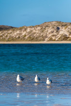 Three Seagulls In Shallow Wate...