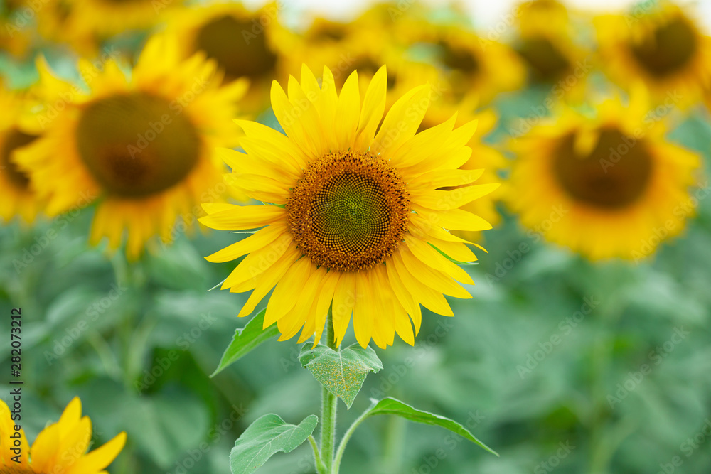 Beautiful sunflowers in the field natural background. Sunflower blooming.