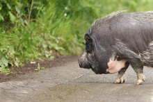 Vietnamese Pot Bellied Pig. Portrait Of Vietnamese Pig. Domestic Animals.
