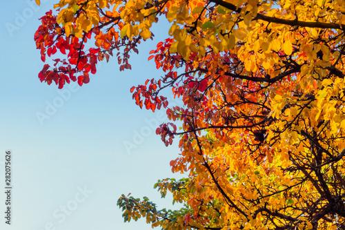Obraz na plátně  Herbst Äste mit bunten Blättern und blauen Himmel