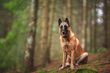 Belgian Shepherd Dog In Natura...