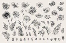 Vintage Vector Botanical Illustration. Set. Poppies Of Various Varieties. Flowers, Leaves, Buds. Black And White