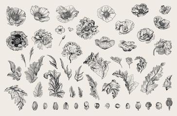 Starinska vektorska botanička ilustracija. Postavi. Makovi raznih sorti. Cvijeće, lišće, pupoljci. Crno i bijelo