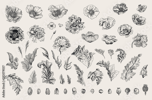 Vintage vector botanical illustration. Set. Poppies of various varieties. Flowers, leaves, buds. Black and white - 282079037
